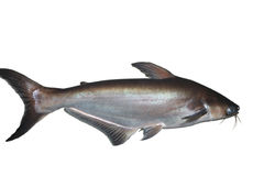 Shark fish Stock Photography