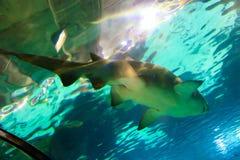 Shark Fish - Barcelona. Shark Fish and underwater life in L`Aquarium de Barcelona or Aquarium of Barcelona - Spain Stock Photography