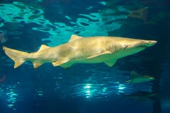 Shark Fish - Barcelona. Shark Fish and underwater life in L'Aquarium de Barcelona or Aquarium of Barcelona - Spain Stock Images