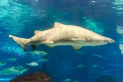 Shark Fish. Beautiful Fishes in L`Aquarium de Barcelona or Aquarium of Barcelona - Spain Royalty Free Stock Image
