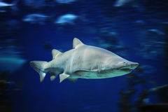 Shark fish, bull shark, marine fish underwater stock photo