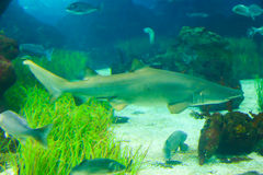 Shark Fish. In L'Aquarium de Barcelona or Aquarium of Barcelona - Spain Stock Image