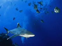 Shark and fish in ocean. Shark and fish swimming in blue waters of ocean Royalty Free Stock Photos