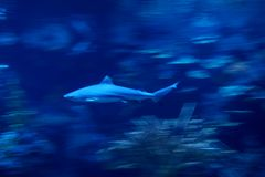 Shark fish swimming in the ocean. Photo of a shark swimming besides corals in the salty blue water of the sea stock images