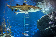 Shark with fish underwater in natural aquarium. Shark underwater in natural aquarium. Bangkok Stock Photography