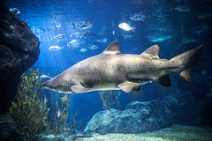 Shark with fish underwater in natural aquarium Stock Images