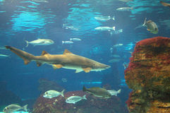 Shark and fish. Underwater scene with shark and fish royalty free stock image