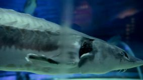 Shark Floating in Aquarium. Underwater background . Aquarium, Fish Tank with Sharks and Artificial Coral Reef stock footage