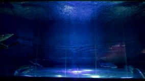 Shark Floating in Aquarium. Underwater background . Aquarium, Fish Tank with Sharks and Artificial Coral Reef stock video