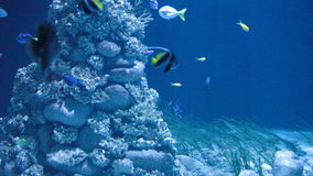 Shark floats against a coral reef. And tropical small fishes stock video