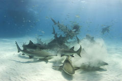 Shark Frenzy. A frenzy of sharks stir up the white bottom as they battle for their share of food royalty free stock photo