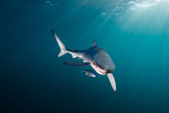 Shark and friend royalty free stock photo