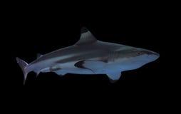 Shark full size isolated on black Royalty Free Stock Images
