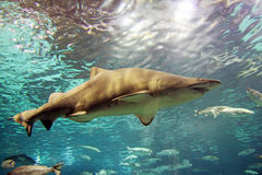 Shark. A gey shark is swimming in the deep water Stock Photography
