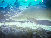 Shark in Hanwah Aqua Planet Jeju, located nearby Seopjikoji and. Offers versitle features, including an aquarium as the main attraction, Marine Science, Kiz Stock Images
