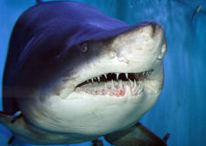 Shark head. Grey Reef Shark swimming in blue water Stock Images