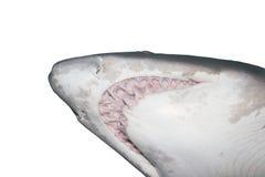 Shark head close up Stock Image