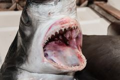 Shark head in fish market. Fresh shark head with open jaws in local Athens fish market, Greece stock photography