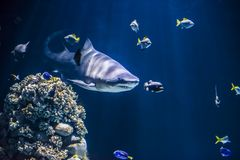 Shark hunting. For fish underwater royalty free stock images