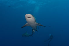 Shark interaction. Underview of a bull shark with a diver in the background, Mozambique Stock Images