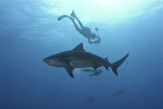 Shark investigation. The view of a bull shark being photographed, Pinnacles, Mozambique Stock Photos