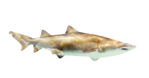 Shark. Isolated over white Stock Photography