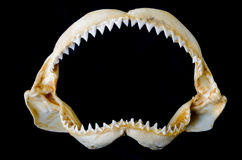 Shark Jaw Bone. And sharp shark teeth isolated on black background royalty free stock photography