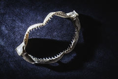 Shark jaw with teeth. Small shark's jaw on a blue background Royalty Free Stock Image