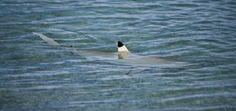Shark in Lagoon. Black tip shark swimming in shallow lagoon with fin exposed Royalty Free Stock Photo