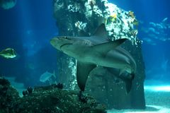 Shark in Lisbon Oceanarium royalty free stock photography