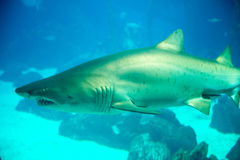 Shark from the Lisbon Oceanarium main tank Stock Image