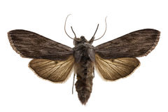 Shark Moth Royalty Free Stock Images