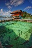 Shark Nursery Karimunjava Royalty Free Stock Images