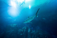 Shark in the ocean. Coral reef underwater with water line. Shark. With Sunbeams shining through surface in aquarium Stock Image