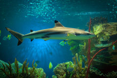 Shark. In an oceanarium. Big beautiful aquarium Stock Image