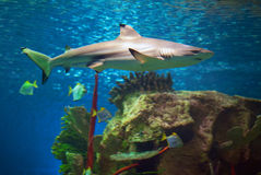 Shark. In an oceanarium. Big beautiful aquarium Stock Photo