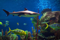 Shark. In an oceanarium. Big beautiful aquarium with various fishes Royalty Free Stock Photography
