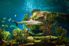 Shark. In an oceanarium. Big beautiful aquarium with various fishes Stock Image