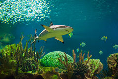 Shark. In an oceanarium. Big beautiful aquarium with various fishes Stock Photography