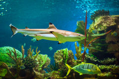 Shark. In an oceanarium. Big beautiful aquarium with various fishes Royalty Free Stock Photos