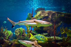 Shark. In an oceanarium. Big beautiful aquarium with various fishes Royalty Free Stock Images
