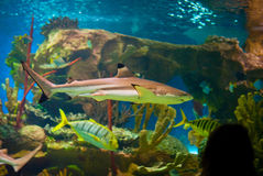 Shark. In an oceanarium. Big beautiful aquarium with various fishes Stock Photo