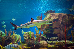 Shark. In an oceanarium. Big beautiful aquarium with various fishes Royalty Free Stock Photo
