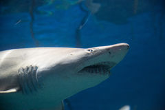 Shark ominous. Hungry shark ominously looks for prey. 3/4 shot from underneath stock image