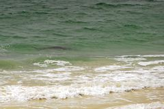 Shark in One Meter of Water and Five Meters Out, in natural Environment. At the Back of the breaking Waves a Shark Swims by Looking for Food. Shark in One Meter stock photography