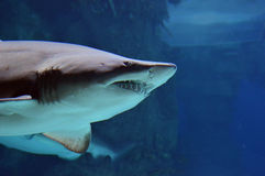 Shark with open mouth Stock Photography