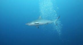 Shark in Open Water. Sea blue life dive reef jaws fish open grey fiji shark diver water teeth scuba ocean marine silver animal snorkel tropical underwater Stock Photography