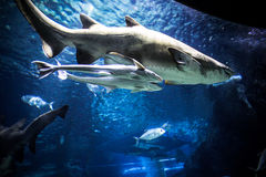 Shark with other fish is swimming in the deep Stock Photography