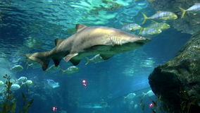 Shark over a coral reef.  stock video footage