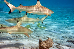 Shark over a coral reef at ocean Royalty Free Stock Photo